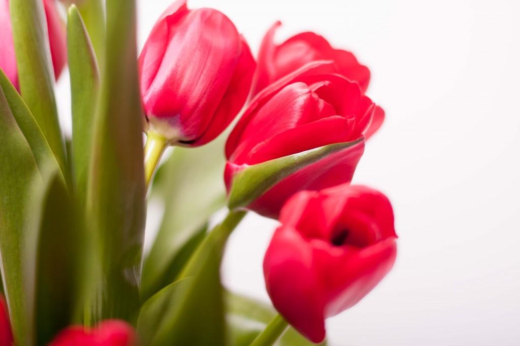 Tulips_web-13